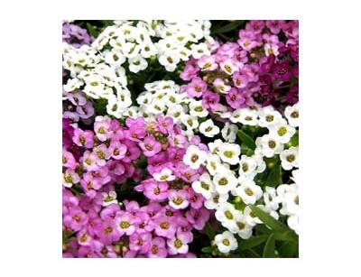 بذر گل آلیسوم (عسلی) الوان