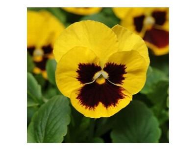 بذر گل بنفشه تک رنگ