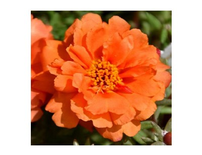 بذر گل ناز آفتابی تک رنگ
