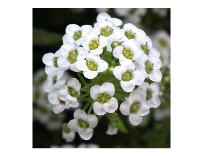 بذر گل آلیسوم (عسلی) تک رنگ