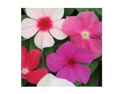 بذر گل پریوش الوان