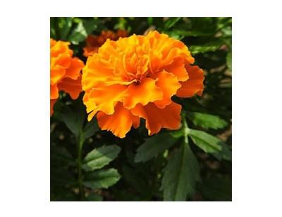 بذر گل جعفری تک رنگ
