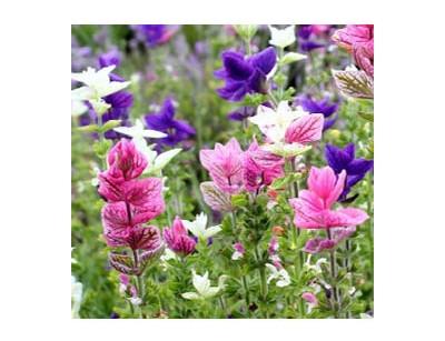 بذر گل سلوی الوان