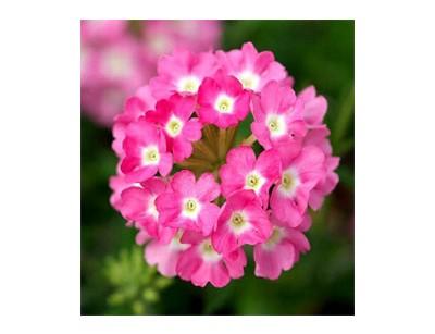 بذر گل شاهپسند تک رنگ