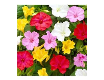 بذر گل لاله عباسی الوان