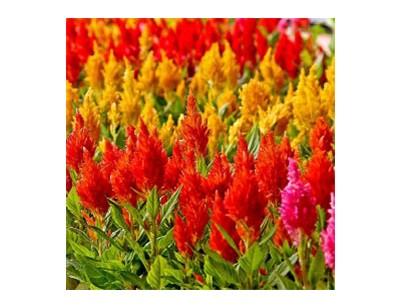 بذر گل تاج خروس الوان