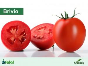 بذر گوجه فرنگی هیبرید بریویو سمینیس