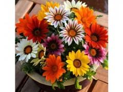 بذر گل گازانیا الوان