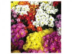 بذر گل داوودی الوان