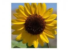بذر گل آفتابگردان تک رنگ