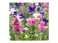 بذر گل سلوی (مریم گلی) الوان
