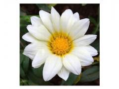 بذر گل گازانیا تک رنگ