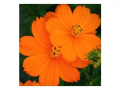 بذر گل ستاره ای تک رنگ