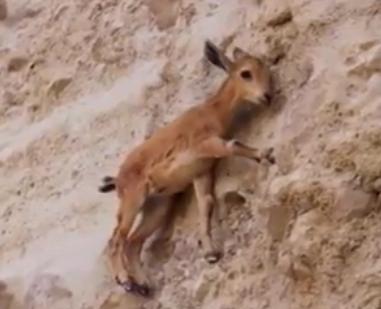 ویدئو : صحنه هایی از حیات شگفت انگیز بزکوهی