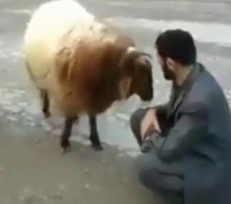 ویدئو :  گوسفند حسود دیده بودین