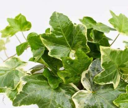 لیست فواید بی نظیر گیاه عشقه