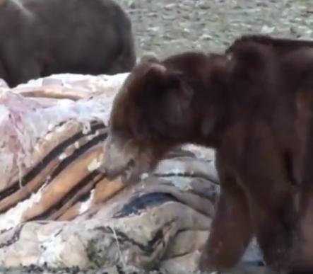 ویدئو :  نبرد شدید خرس ها با سایر حیوانات