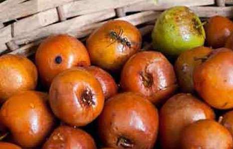 خواص میوه کنار یا خواص میوه درخت سدر