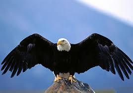 ویدئو :  حمله های تماشایی عقاب