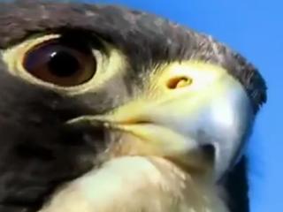 ویدئو :  شکار کبوتر توسط شاهین