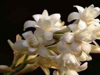 گل مریم را بشناسید و با شیوههای پرورش آن آشنا شوید