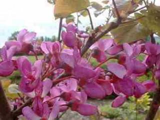 خواص گل ارغوان، از درمان بیماریهای مثانه تا ترمیم جراحت