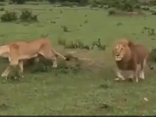 ویدئو :  شگفت انگیزترین جنگ و نبرد حیوانات در حیات وحش