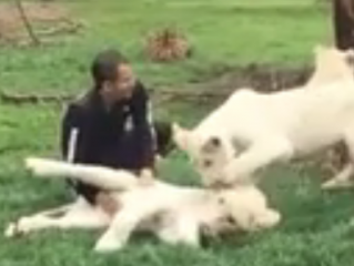 ویدئو :   دفاع ببر وحشی از مرد جوان در مقابل حمله یوزپلنگ