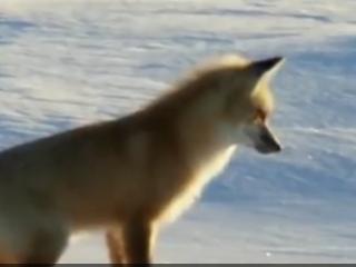 ویدئو:   روش جالب و عجیب این روباه برای شکار کردن رو ببنید!!!