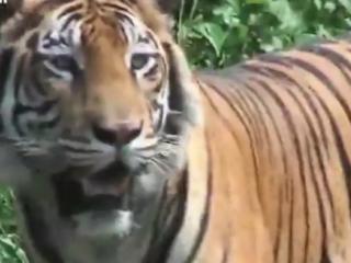 ویدئو :  دوستی با ببر ۱۷۰ کیلوگرمی