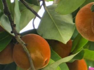 هر آنچه باید از خواص سیب مخملی بدانیم
