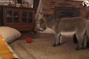 ویدئو : خر کوچولو فکر می کنه سگِ