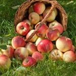 چند نوع سیب داریم و کار برد هرکدام؟