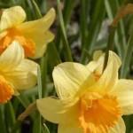 آموزش نحوه کاشت و پرورش گل نرگس با عطری دلپذیر