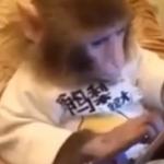 ویدئو :  استفاده جالب میمون ها از تبلت