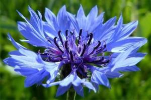 درمان کمردرد با «شربت گل گندم»
