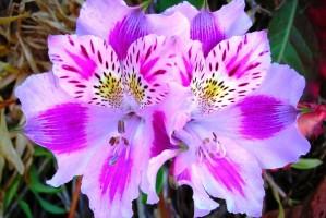 عکس گل: ۱۳ گل زیبا به همراه معنی و مفهوم هر گل خاص