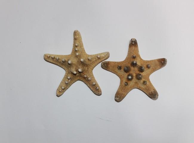 ستاره دریایی منیاتوری کدs11