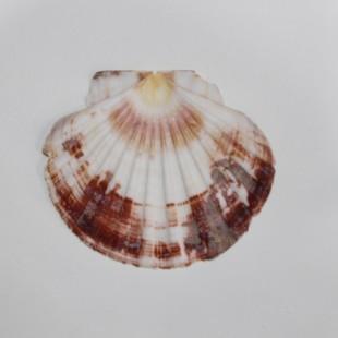 صدف دریایی  کپه بزرگ کدs6