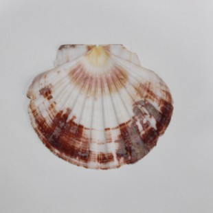 صدف دریایی  کپه بزرگ مسطح(کد s3)