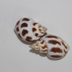 صدف دریایی  حلزونی جفتی کدs2