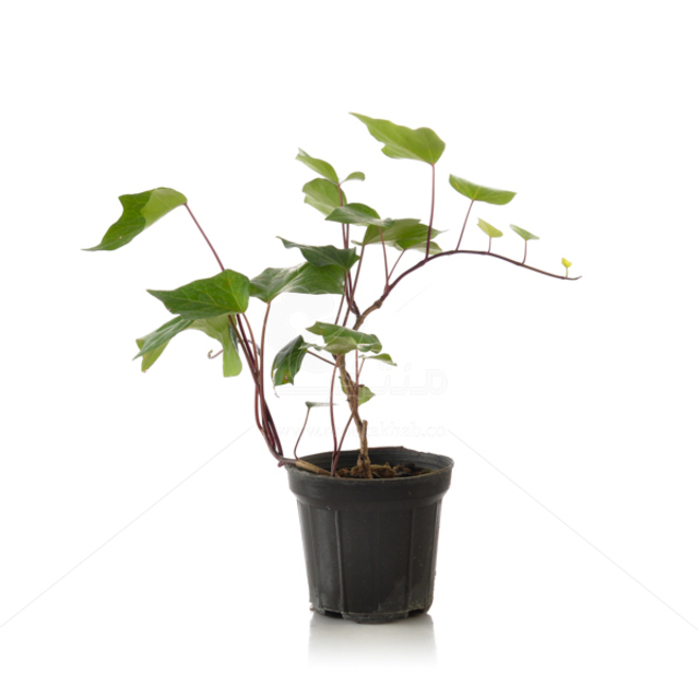 گیاه پاپیتال سبز (هدرا) ارتفاع 35 سانتی متر