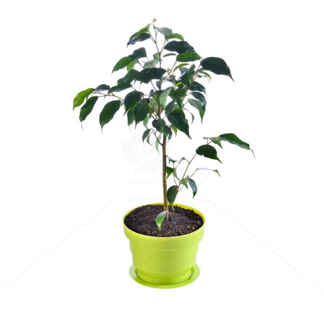 گیاه آپارتمانی بنجامین بلک در گلدان پلاستیکی ارتفاع 50 سانتی متر