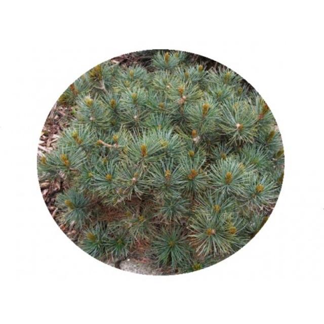 بذر کاج پومیلا