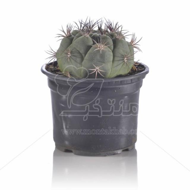 کاکتوس ژمینو بروچی در گلدان سیاه سایز 12