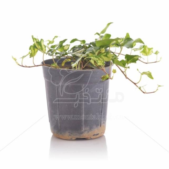 گیاه هدرا (پاپیتال) ارتفاع 15 سانتی متر