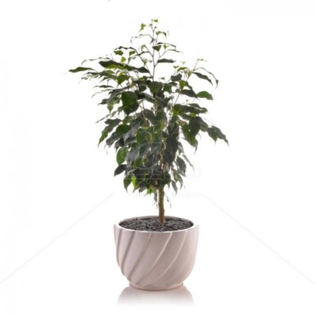 گیاه آپارتمانی بنجامین بلک در گلدان سرامیکی پیچی ارتفاع 55 سانتی متر