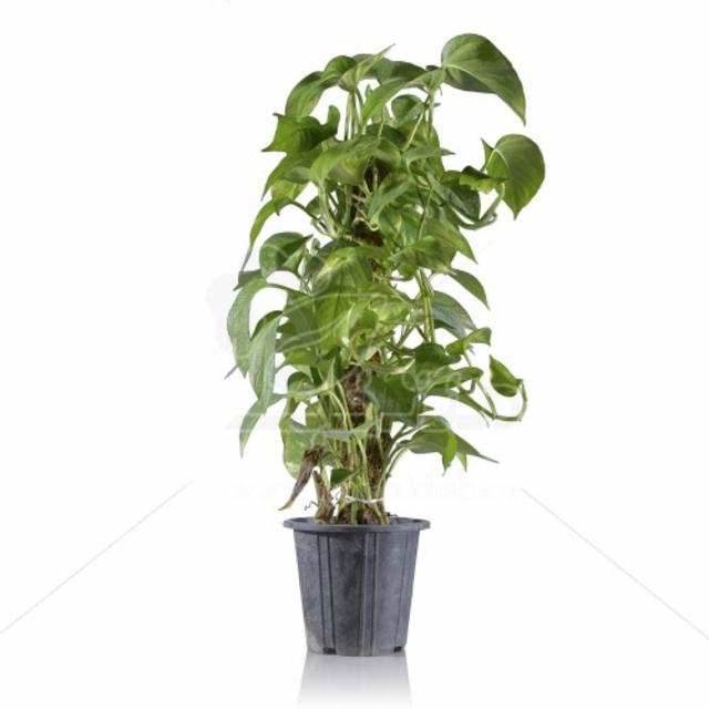 گیاه آپارتمانی پتوس چوبدار 60 سانتی