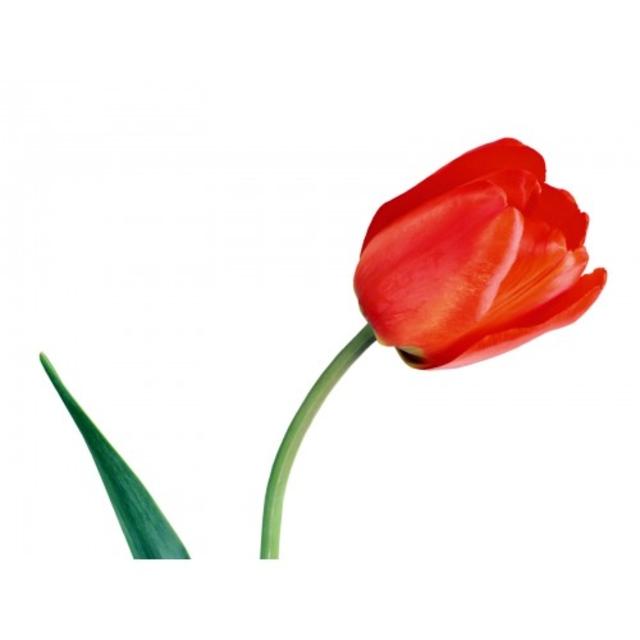 پیاز گل لاله ایرانی