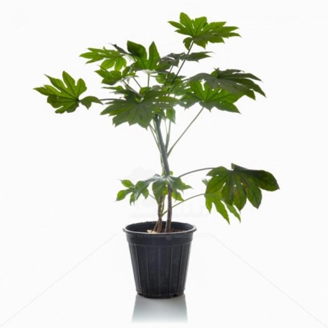 گیاه آپارتمانی آرالیا ژاپنی ارتفاع 75 سانتی متر